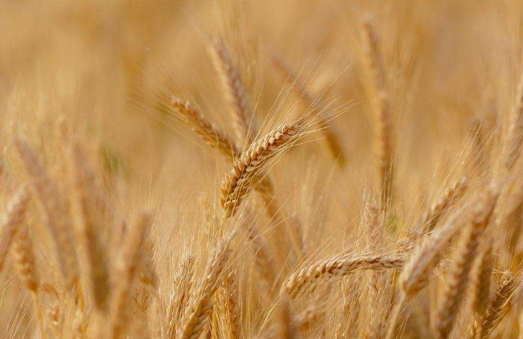 Material ecológico con la fibra de paja de trigo